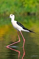 Black-winged Stilt. Himantopus himantopus. Guadiana river. Badajoz. Extremadura. Spain
