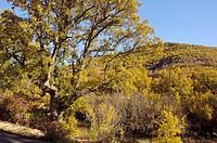 Portuguese Oaks (Quercus faginea). Quejigar de Brihuega y Barriopedro, Valle del Río Tajuña, La Alcarria, natural habitat declared Site of Community I...