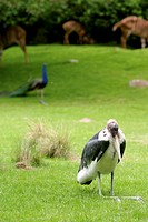 Marabou Stork with a Pea Fowl in background