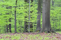 Spring deciduous forest with new foliage  Bavaria, Germany, Europe