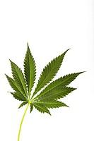 Cannabis Leaf.