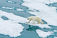 Young curious female polar bear Ursus maritimus approaches the Lindblad Expedition ship National Geographic Explorer on fast ice near Hinlopen Strait ...
