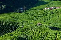 Italy, Valdobbiadene, Santo Stefano area, vineyards.