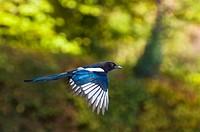 European magpie in flight, UK