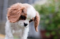 Cavalier King Charles Spaniel Outside