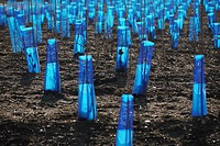 Blue plastic netting protects vines in late winter.