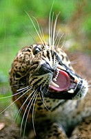 SRI LANKAN LEOPARD panthera pardus kotiya, PORTRAIT OF ADULT WITH OPEN MOUTH IN THREAT POSTURE