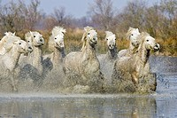 CAMARGUE HORSE, HERD GALOPPING IN SWAMP, SAINTES MARIE DE LA MER IN SOUTH OF FRANCE
