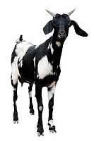 Goat cutout