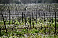 Wine grape vines in late winter in the Herault region of France.