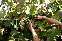 Collecting racemes of grape in a vineyard  Raymat  LLeida  Spain