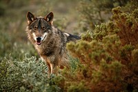 A exemplary of Iberian wolf in the typical Mediterranean scrub vegetation, looking around, Wolf park, Antequera, Malaga, Andalusia, Spain