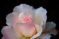 This stock image is a very pale pink, almost white tea rose with soft delicated petals, against a dark background