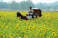 horse carriage ride through sunflower fields, sunflower fields of lopburi and saraburi, central Thailand