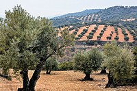 Olive trees in Tielmes  Madrid Spain