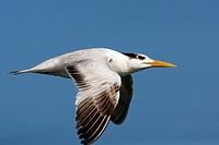 Royal Tern in Flight - J N  Ding Darling National Wildlife Refuge - Sanibel Island, Florida USA