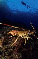 Diver and Spinny Lobster (Palinurus elephas), Mediterranean Sea, Spain