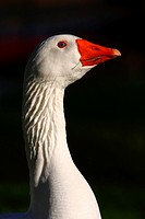 Goose of Bourbonnais - A nice goose that looks like a supermodel