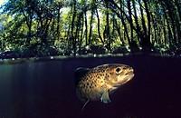 Freshwater River, Sea trout (Salmo trutta trutta), Rio Tea, Galicia, Spain