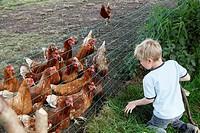 Little boy feeding chicken with grass, Netherlands