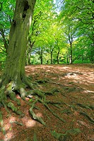 Beech trees in Judy Woods, Wyke, Bradford, West Yorkshire, England, UK