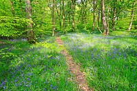 Bluebells in Judy Woods, Wyke, Bradford, West Yorkshire, England, UK