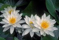 American water-lily Nymphaea odorata, Columbia River National Scenic Area, southern Washington, USA