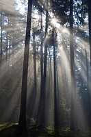 Sun filtering through mature fir wood and early morning mist in spring, Lower Saxony, Germany