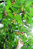 Cherries on tree, hand picking a cherry in background