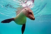 Young Galapagos sea lion Zalophus wollebaeki underwater in the Galapagos Island Archipelago, Ecuador  MORE INFO The population of this sea lion fluctu...