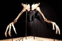 Arms of Deinocheirus -Late Cretaceous - found in Gobi desert in Mongolia Cosmocaixa museum, Barcelona, Spain