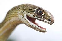 Montpelier Snake Malpolon monspessulanum