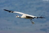 Common crane, Grus grus, in flight, Gallocanta, Teruel, Spain