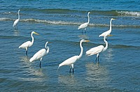 Casmerodius albus group, Great Egret, Ardeidae, Livingston, Guatemala