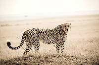 Cheetah standing in the Masai Mara