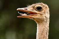 Ostrich, Lake Baringo, Kenya.