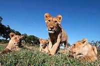 Lions Cubs, Masai Mara National Reserve, Kenya.