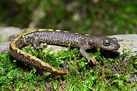 Pyrenean newt Calotriton asper on moss near Ugazagia stream, Irati, Navarra, Spain