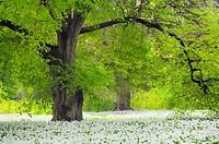 Lime trees and a carpet with blooming Ramsons Wild garlic, Allium ursinum in spring at castle Park Putbus, Insel Rügen, Isle of Ruegen, Mecklenburg-Vo...