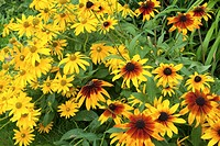 Rudbeckia Hirta and Irish Eyes blooming together