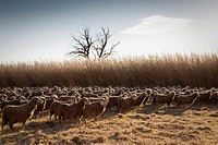 backlight herd of sheep grazing in the field, Arles, France