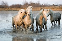 Camargue Horses, Herd standing in Swamp, Saintes Marie de la Mer in the South of France