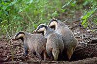 Badger Meles meles, three badgers coming out from den, Franconian Jura, Bavaria