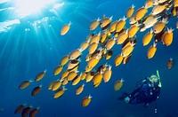 Diver with Damselfish Chromis cf analis  Indonesia