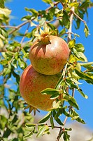 Pomegranates  Lleida, Catalonia, Spain,