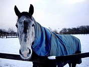 Horse with blue coat and snow