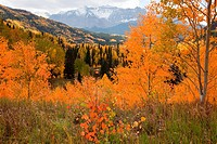Aspens in autumn in the Rocky Mountains
