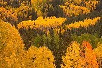 Aspens in Autumn in the Rocky Mountains of Colorado