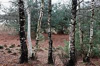 Birch tree, Leersumse Veld, The Netherlands