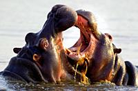 Hippopotamus Hippopotamus amphibius - Two bulls at an ´educational´ play fight  Noticeable the larger size of the bull on the left  Sunset Dam, Kruger...